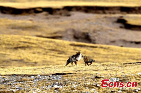 Family time: Adorable Tibetan fox cub plays with Mom
